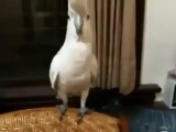 Попугай какаду танцует под PSY